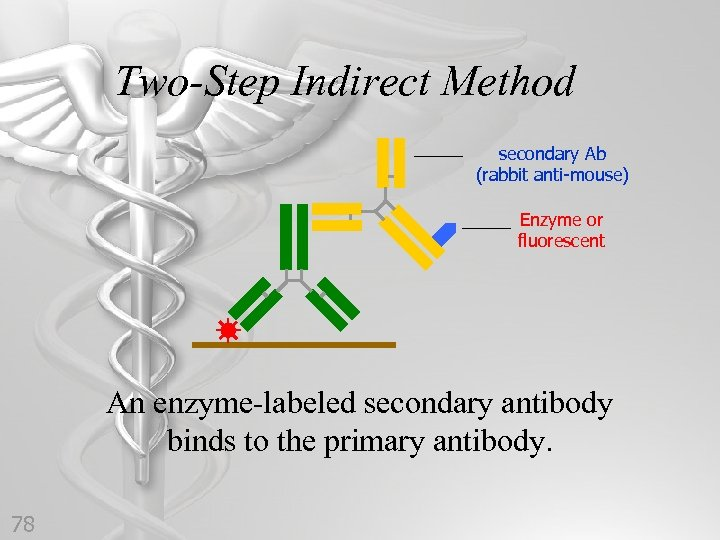 Two-Step Indirect Method secondary Ab (rabbit anti-mouse) Enzyme or fluorescent An enzyme-labeled secondary antibody