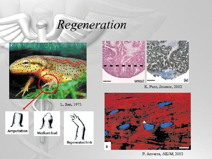 Regeneration K. Poss, Science, 2002 L. Iten, 1973 P. Anversa, NEJM, 2002