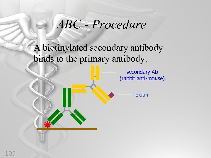 ABC - Procedure A biotinylated secondary antibody binds to the primary antibody. secondary Ab