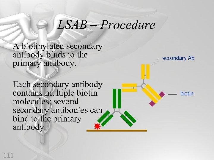 LSAB – Procedure A biotinylated secondary antibody binds to the primary antibody. Each secondary
