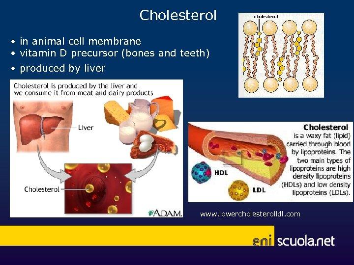 Cholesterol • in animal cell membrane • vitamin D precursor (bones and teeth) •