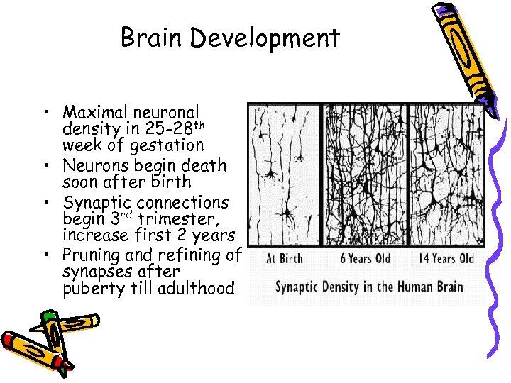 Brain Development • Maximal neuronal density in 25 -28 th week of gestation •