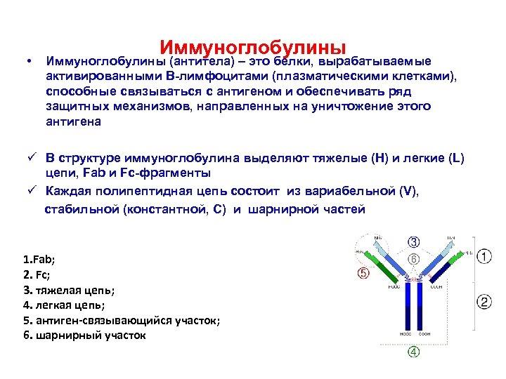 • Иммуноглобулины (антитела) – это белки, вырабатываемые активированными В-лимфоцитами (плазматическими клетками), способные связываться