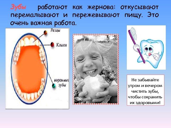 Зубы работают как жернова: откусывают перемалывают и пережевывают пищу. Это очень важная работа. Не