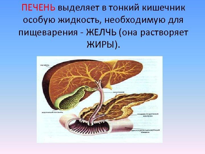 ПЕЧЕНЬ выделяет в тонкий кишечник особую жидкость, необходимую для пищеварения - ЖЕЛЧЬ (она растворяет