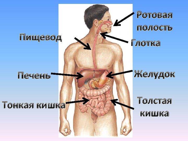 Пищевод Ротовая полость Глотка Печень Желудок Тонкая кишка Толстая кишка