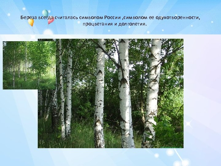 Береза всегда считалась символом России , символом ее одухотворенности, процветания и долголетия.