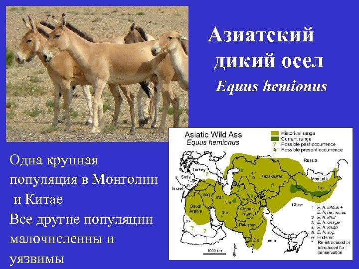 Азиатский дикий осел Equus hemionus Одна крупная популяция в Монголии и Китае Все