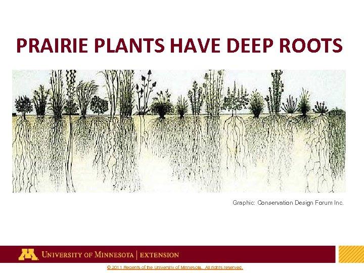 PRAIRIE PLANTS HAVE DEEP ROOTS Graphic: Conservation Design Forum Inc. 35 © 2011 Regents