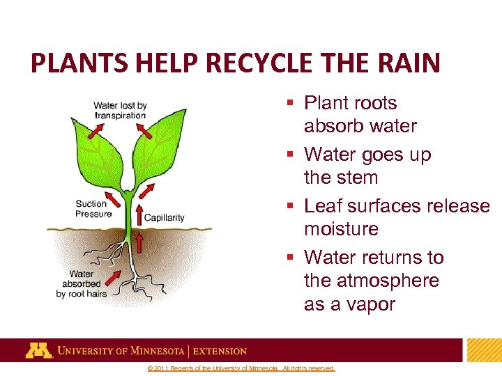 PLANTS HELP RECYCLE THE RAIN § Plant roots absorb water § Water goes up