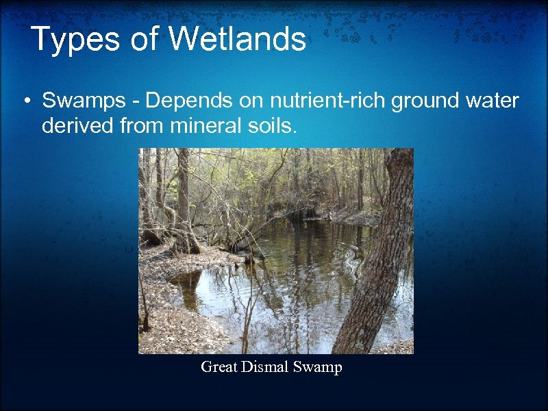 Types of Wetlands • Swamps - Depends on nutrient-rich ground water derived from mineral
