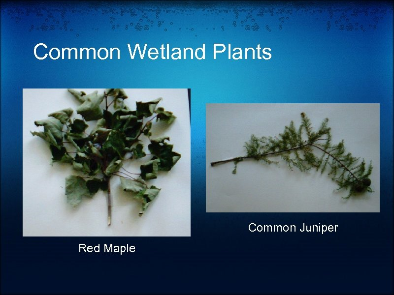 Common Wetland Plants Common Juniper Red Maple