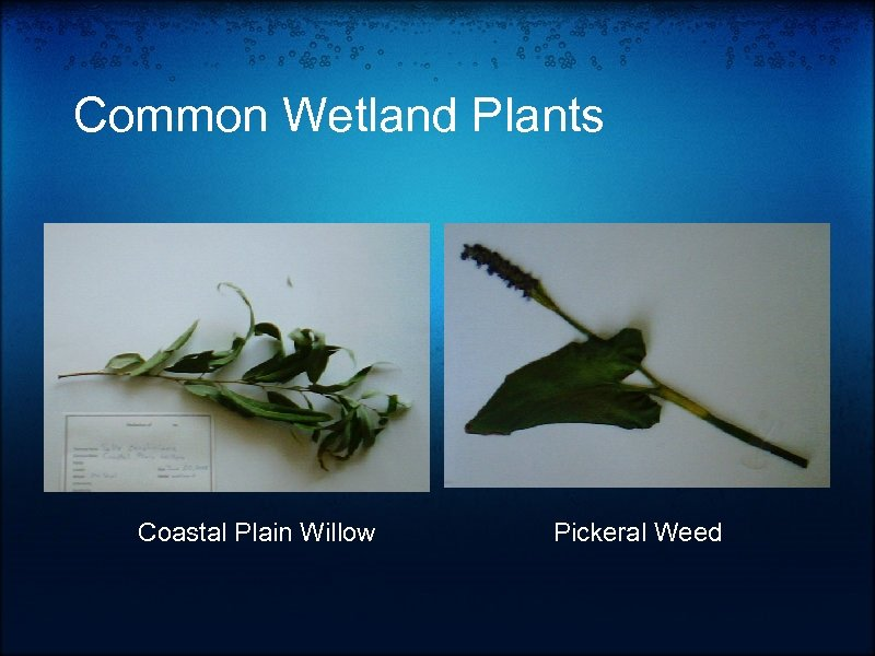 Common Wetland Plants Coastal Plain Willow Pickeral Weed