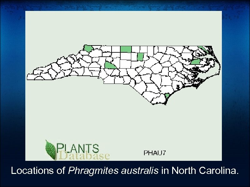 Locations of Phragmites australis in North Carolina.
