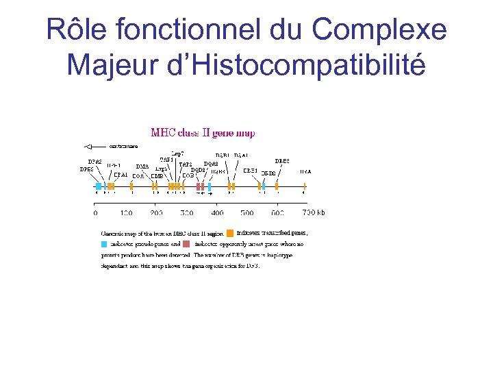 Rôle fonctionnel du Complexe Majeur d'Histocompatibilité