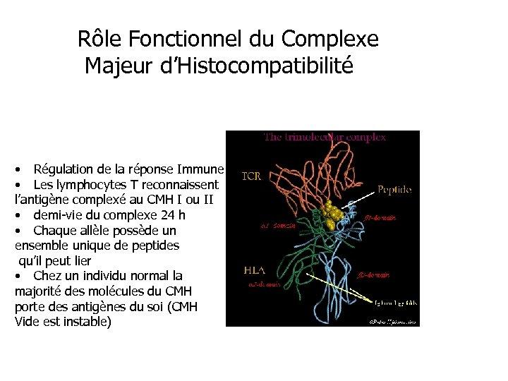 Rôle Fonctionnel du Complexe Majeur d'Histocompatibilité • Régulation de la réponse Immune • Les