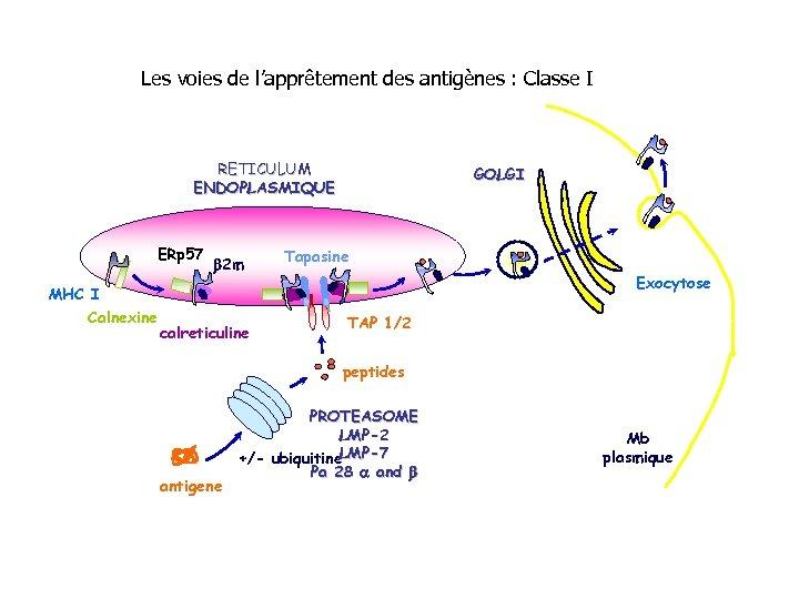 Les voies de l'apprêtement des antigènes : Classe I RETICULUM ENDOPLASMIQUE ERp 57 b