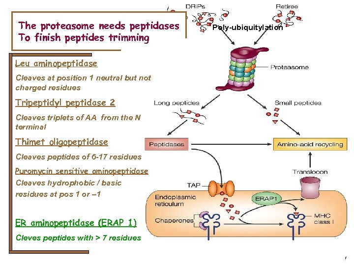 The proteasome needs peptidases To finish peptides trimming Leu aminopeptidase Cleaves at position 1