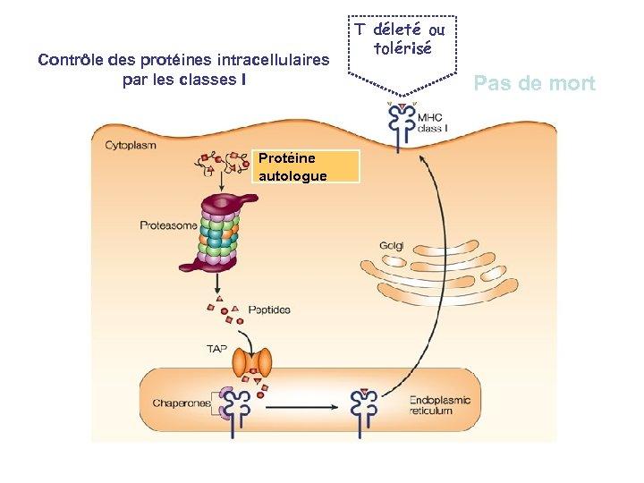 Contrôle des protéines intracellulaires par les classes I Protéine autologue T déleté ou tolérisé