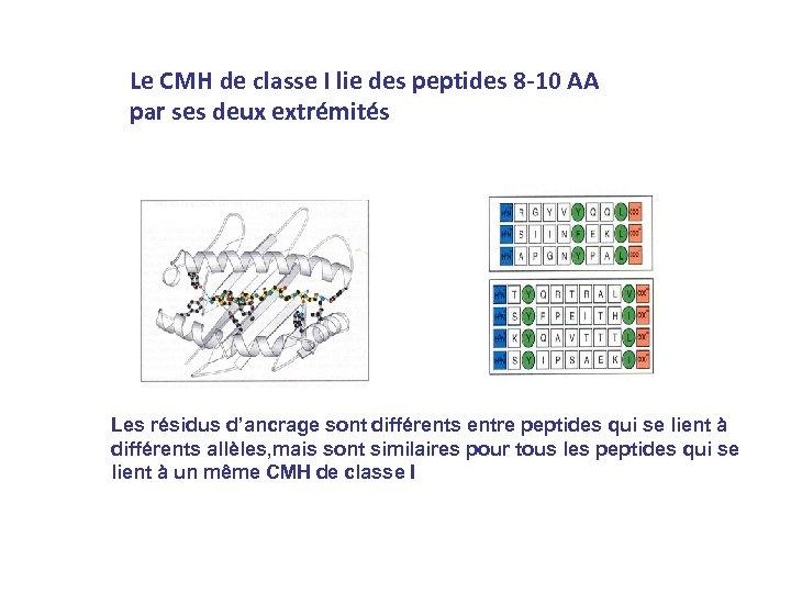 Le CMH de classe I lie des peptides 8 -10 AA par ses deux