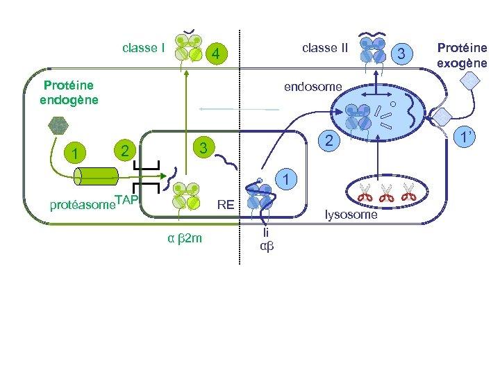 classe II 4 Protéine endogène 1 3 Protéine exogène endosome 2 2 3 1