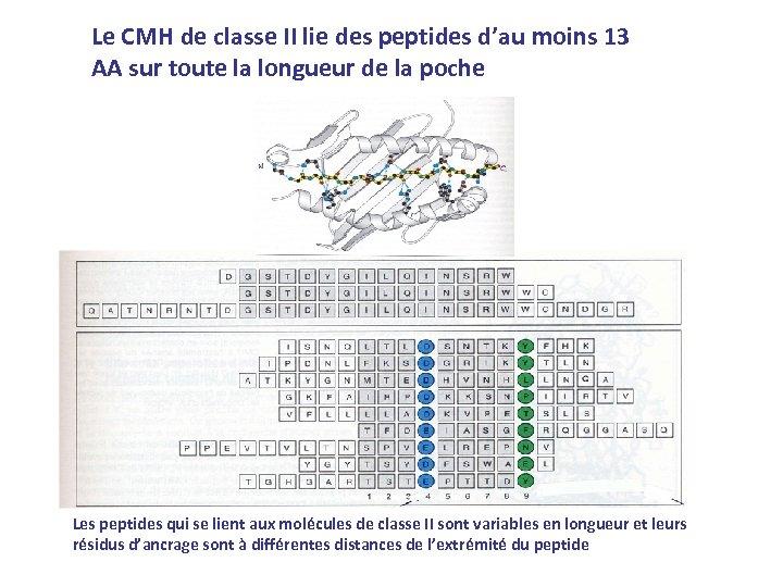 Le CMH de classe II lie des peptides d'au moins 13 AA sur toute