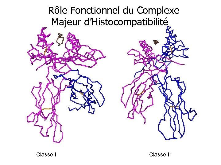 Rôle Fonctionnel du Complexe Majeur d'Histocompatibilité Classe II