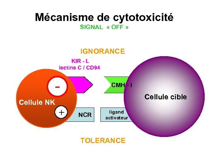 Mécanisme de cytotoxicité SIGNAL « OFF » IGNORANCE KIR - L lectine C /