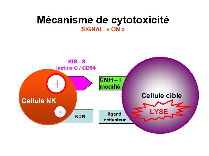 Mécanisme de cytotoxicité SIGNAL « ON » KIR - S lectine C / CD