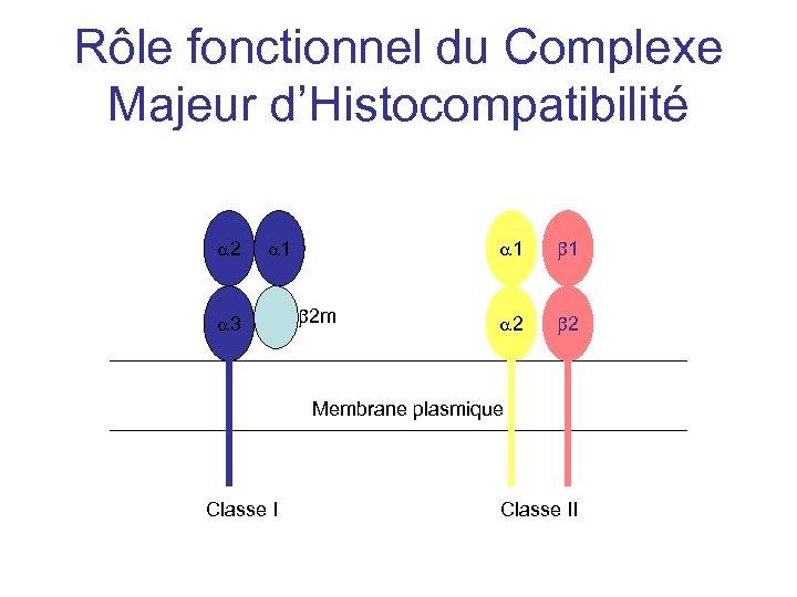 Rôle fonctionnel du Complexe Majeur d'Histocompatibilité a 2 a 1 a 3 a 1