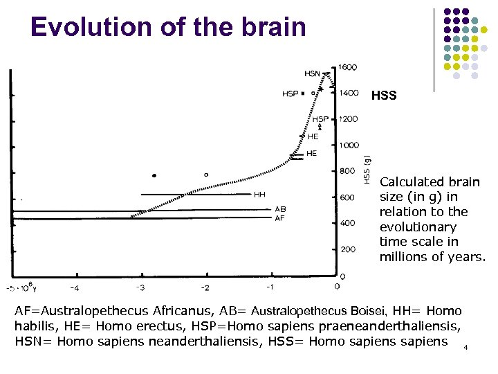 Evolution of the brain HSS Calculated brain size (in g) in relation to the