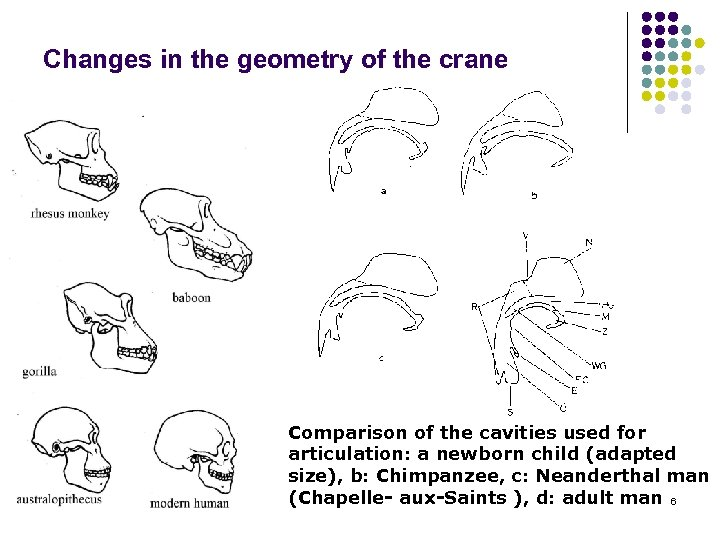 Changes in the geometry of the crane Comparison of the cavities used for articulation: