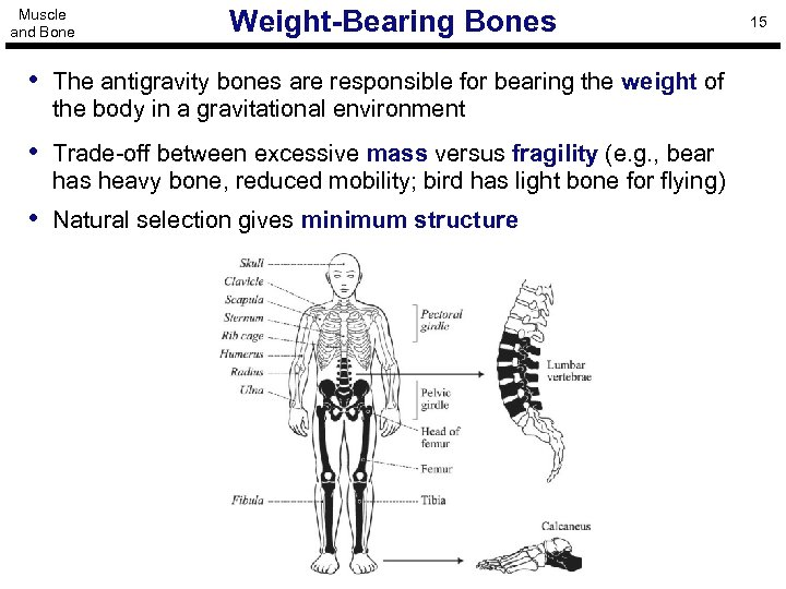 Muscle and Bone Weight-Bearing Bones • The antigravity bones are responsible for bearing the