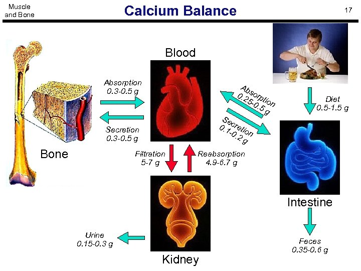 Muscle and Bone Calcium Balance 17 Blood Absorption 0. 3 -0. 5 g Ab