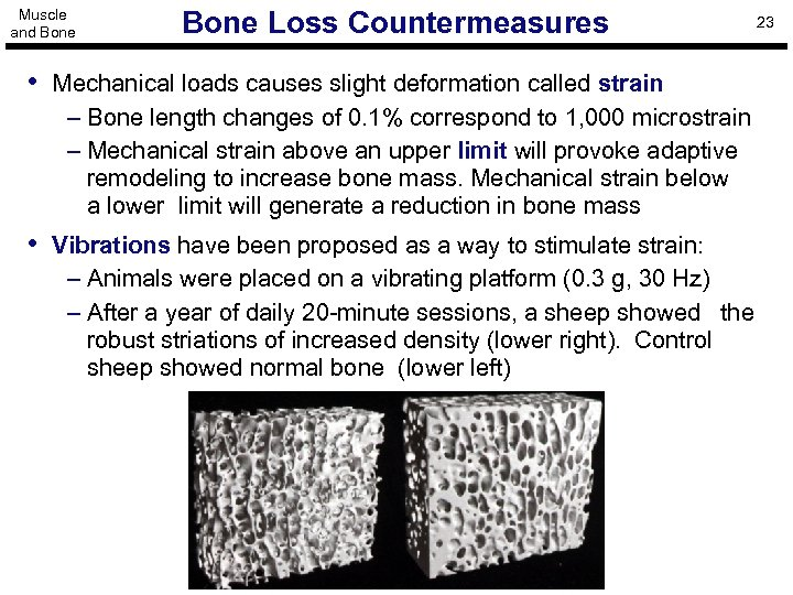 Muscle and Bone Loss Countermeasures • Mechanical loads causes slight deformation called strain –
