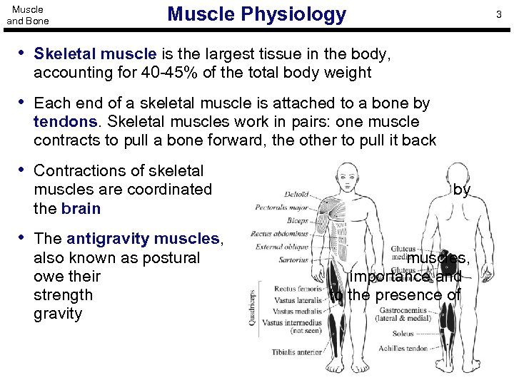 Muscle and Bone Muscle Physiology 3 • Skeletal muscle is the largest tissue in