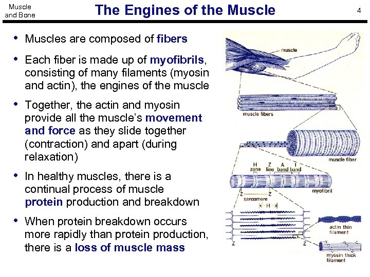 Muscle and Bone The Engines of the Muscle • Muscles are composed of fibers