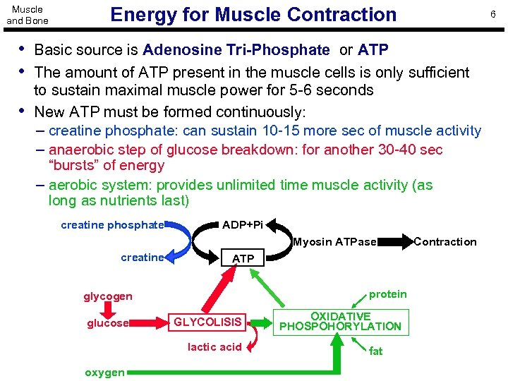 Muscle and Bone Energy for Muscle Contraction 6 • Basic source is Adenosine Tri-Phosphate