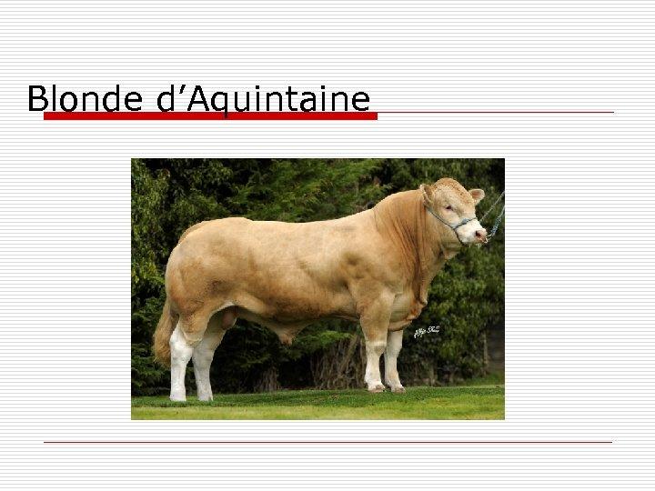 Blonde d'Aquintaine