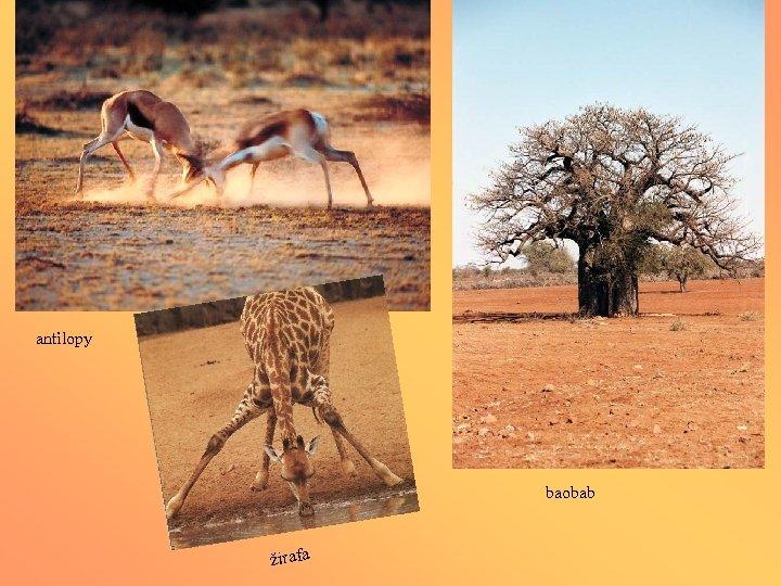 antilopy baobab žirafa