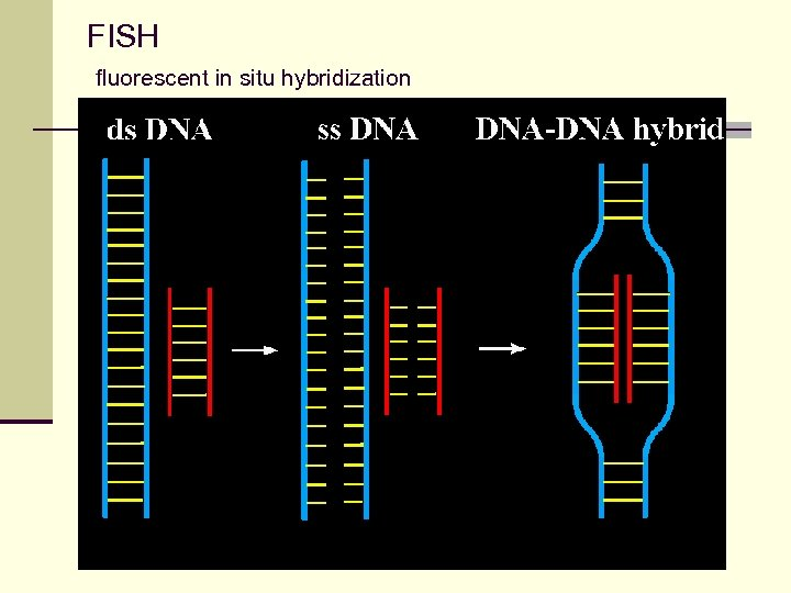 FISH fluorescent in situ hybridization