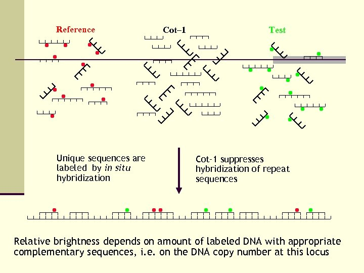 Reference Unique sequences are labeled by in situ hybridization Cot– 1 Test Cot– 1