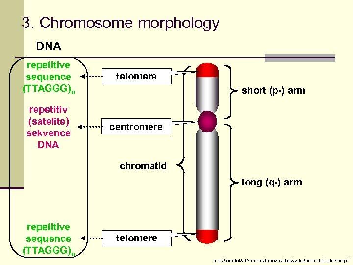 3. Chromosome morphology DNA repetitive sequence (TTAGGG)n telomere repetitiv (satelite) sekvence DNA centromere short