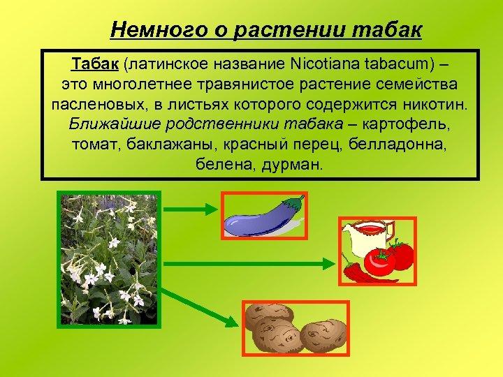 Немного о растении табак Табак (латинское название Nicotiana tabacum) – это многолетнее травянистое растение