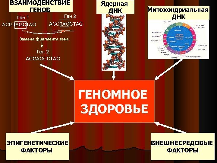 ВЗАИМОДЕЙСТВИЕ ГЕНОВ Ген 1 ACGTAGCTAG Ядерная ДНК Ген 2 Митохондриальная ДНК ACGTAGCTAG Замена фрагмента