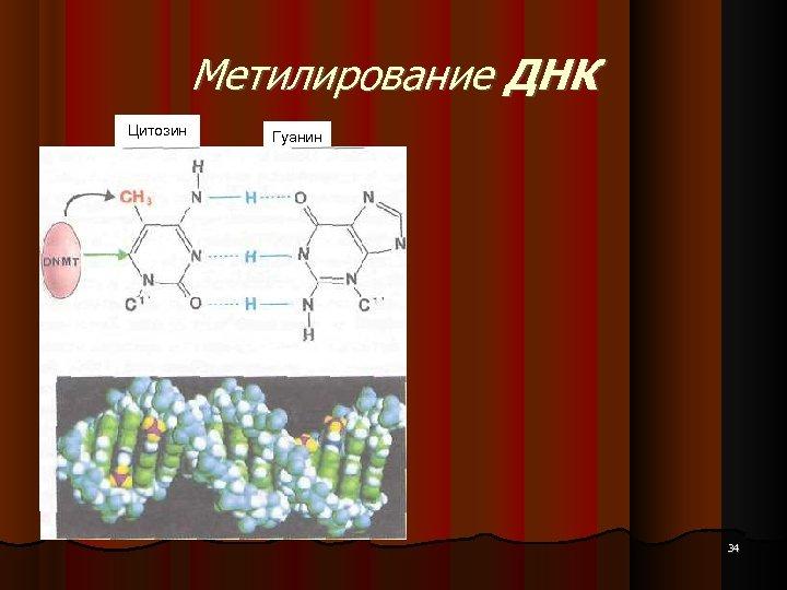 Метилирование ДНК Цитозин Гуанин 34