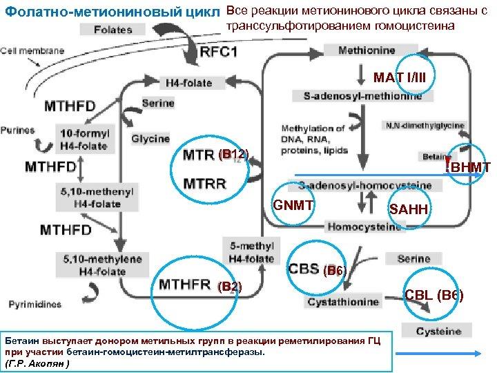 Фолатно-метиониновый цикл Все реакции метионинового цикла связаны с транссульфотированием гомоцистеина MAT I/III (B 12)
