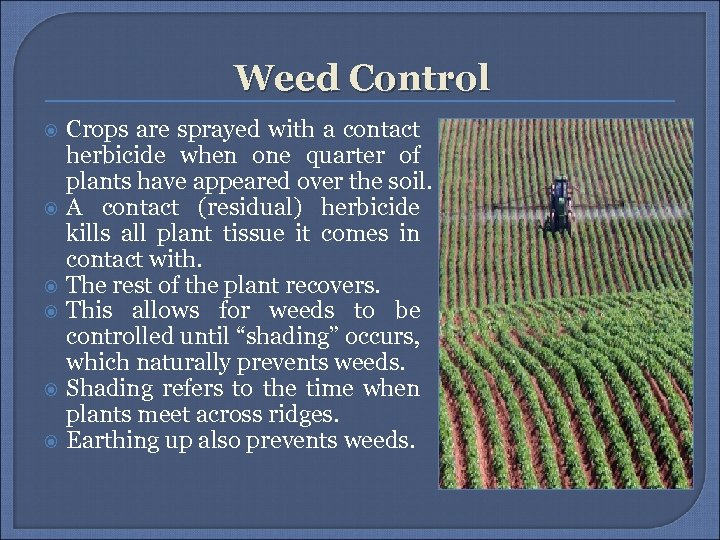 Weed Control Crops are sprayed with a contact herbicide when one quarter of plants