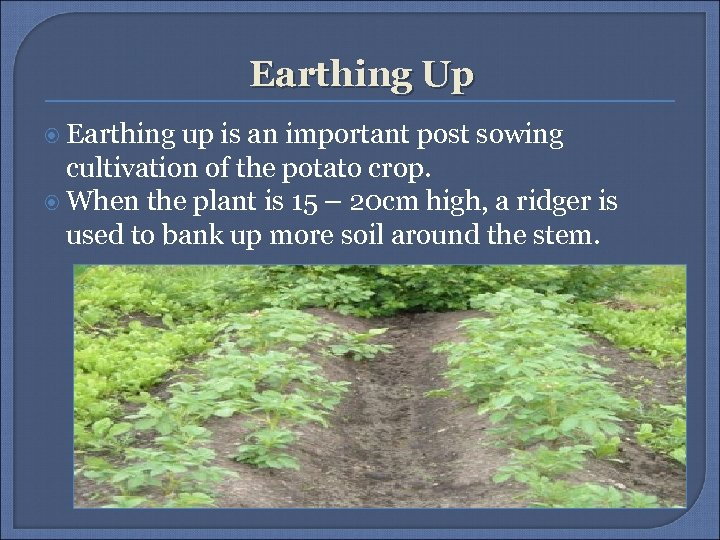 Earthing Up Earthing up is an important post sowing cultivation of the potato crop.