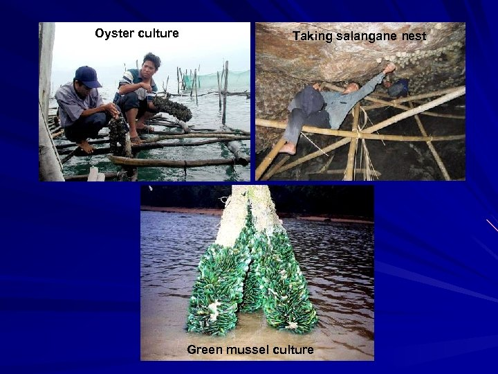 Oyster culture Taking salangane nest Green mussel culture